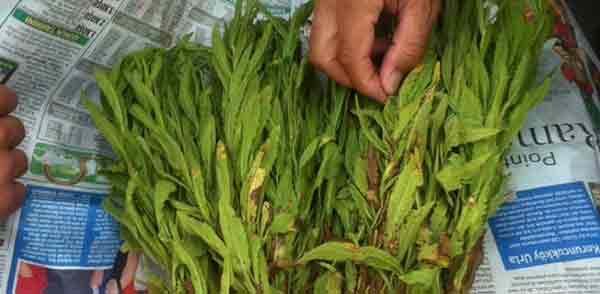 Bu da yapışkan andız (İnula viscosa) otunun çiçek açmış hali