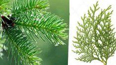 Birçok Önemli Rahatsızlığa Karşı Çam Ağacı Yaprağı